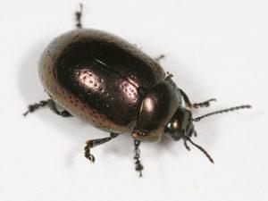 klamath beetle