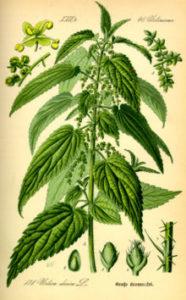 Urtica dioica from Thomé, Flora von Deutschland, Österreich und der Schweiz 1885